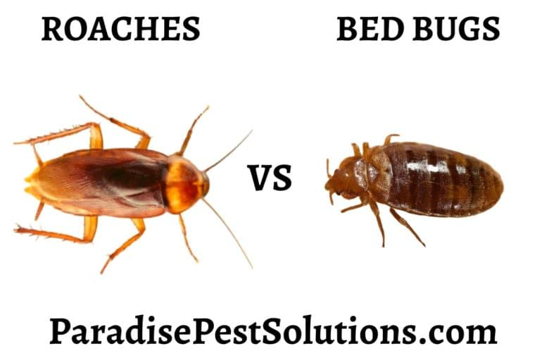 Do Roaches Eat Bed Bugs