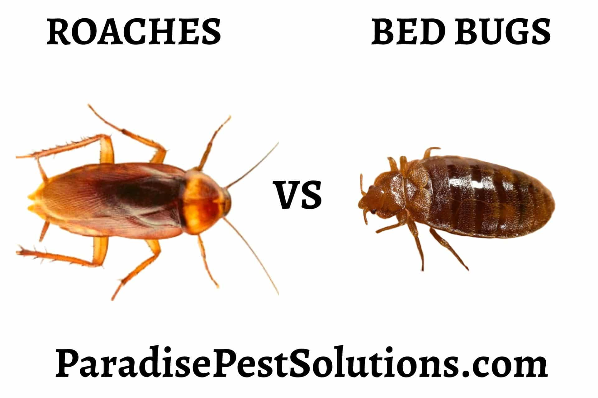 Do Roaches Eat Bed Bugs Paradise Pest Solutions