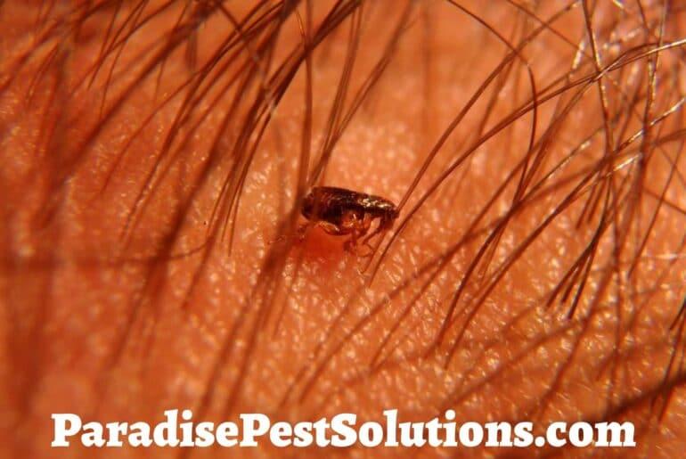 Can fleas live in human hair