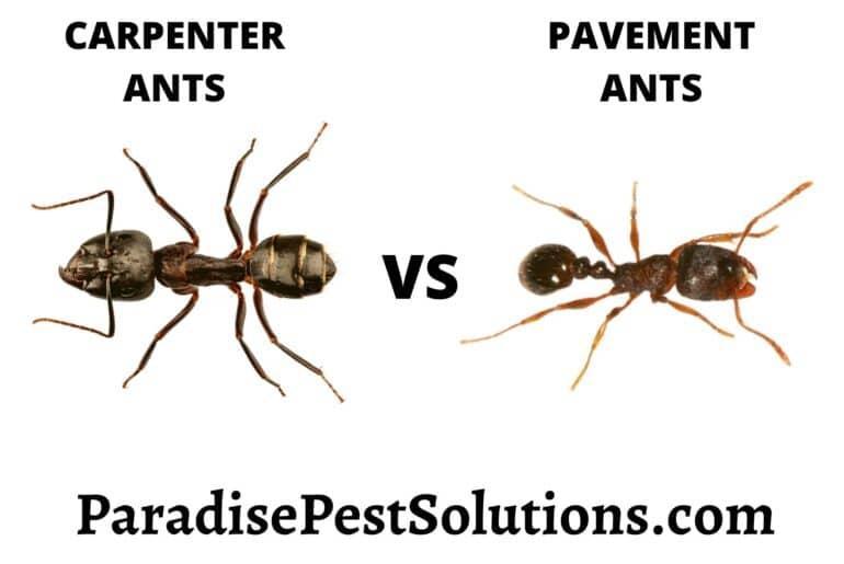 Carpenter ants vs Pavement ants
